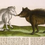 Seduzioni suine - Illustrazione tratta dall'opera 'Historia animalium' di Konrad Gester (1551), Bibliothèque Municipale, Lione